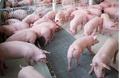Dự báo giá heo hơi hôm nay 19/3: Giá lợn hơi mới nhất miền Bắc ổn định