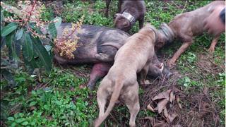 Rợn người cảnh chó săn cắn xé lợn rừng man rợ giữa Thủ đô
