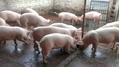 Dự báo giá heo hơi hôm nay 20/3: Giá lợn hơi mới nhất miền Bắc chững lại