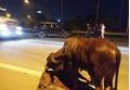 'Cảm động hình ảnh nghĩa tình' chú bò bị tai nạn trên Đại lộ Thăng Long