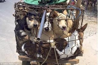 Sau chợ thịt mèo ở TP HCM, những thước phim ám ảnh về lồng chở chó về lò mổ ở Huế lại lên báo nước ngoài