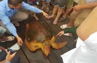 Hà Tĩnh: Thả cá thể rùa nặng 80kg về biển