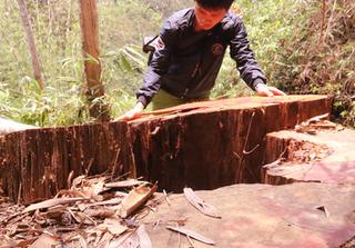 Quảng Nam: Truy tìm kẻ phá rừng gỗ lim xanh hàng trăm tuổi