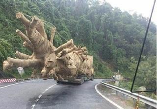 Cục kiểm lâm lên tiếng về việc xuất hiện cây khủng như 'quái thú' ở Đắk Lắk