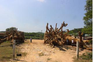 Vụ cây khủng như 'quái thú': Thông tin bất ngờ từ CSGT Đắk Lắk