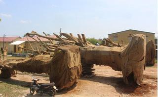 Vụ chở cây khủng như 'quái thú': Thủ tục đốn hạ, khai thác cây nhanh chóng