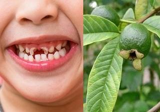 Chữa sâu răng cho con cực nhạy bằng 3 bài thuốc dân gian từ các loại lá