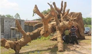 Hai cây khủng như 'quái thú' đã được trả về cho chủ sở hữu