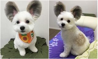 Chú chó có đôi tai tròn xoe như của chuột Mickey