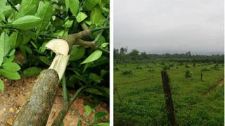 Những vụ chặt phá cây cảnh khiến nông dân 'khóc ròng'