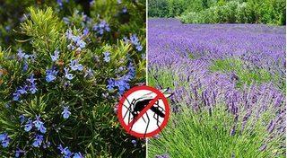 Những loại cây đuổi muỗi nên trồng quanh nhà để bảo vệ gia đình khỏi dịch sốt xuất huyết