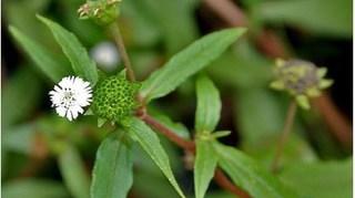 Những bài thuốc cổ truyền trị sốt xuất huyết bằng cỏ nhọ nồi