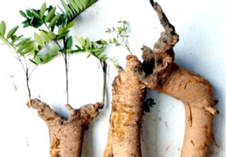 Rễ mật nhân- 'thần dược' chữa tinh trùng yếu, nam giới muốn sớm có con không thể bỏ qua