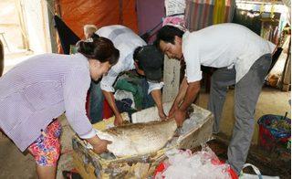 Bến Tre: Ngư dân bắt được cá sủ vàng, thương lái trả giá 1 tỷ đồng