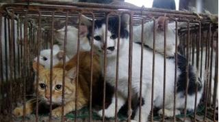 Nước đầu tiên tại châu Á cấm ăn thịt chó mèo, vi phạm đi tù và phạt tiền tỉ