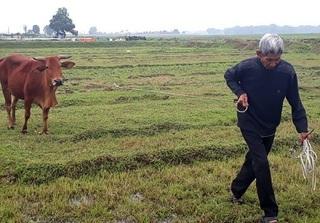 Vụ chăn trâu bò phải đóng phí cỏ: UBND TP. Thanh Hóa ra chỉ đạo