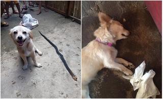 Nụ cười ngây ngô trước khi chết của chú chó liều mạng cắn rắn độc cứu chủ