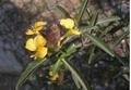 Cây kim vàng- thảo dược chữa rắn cắn, cứu mạng người trong phút 'thập tử nhất sinh'
