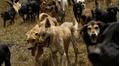 'Diệt' cả bầy chó hoang vì 14 cái chết của trẻ sơ sinh trong làng