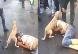 Clip: Hành động gây sốt của chú chó khi ông chủ say rượu nằm giữa đường