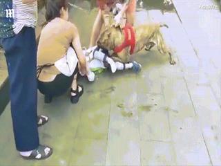 Kinh hãi cảnh cậu bé 4 tuổi bị chó pit bull tấn công ở Trung Quốc