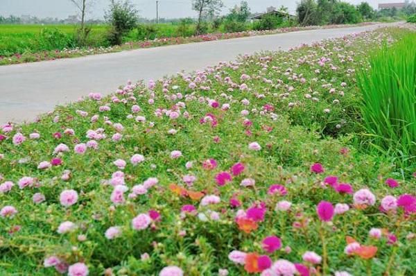 Con đường hoa khoe sắc rực rỡ ở làng quê Nam Định4
