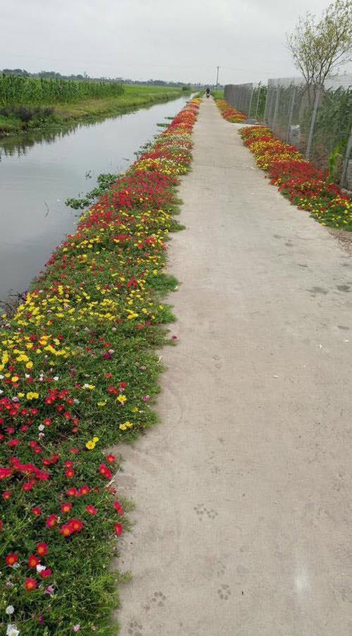 Con đường hoa khoe sắc rực rỡ ở làng quê Nam Định2