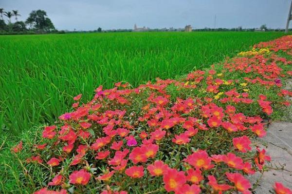 Con đường hoa khoe sắc rực rỡ ở làng quê Nam Định13
