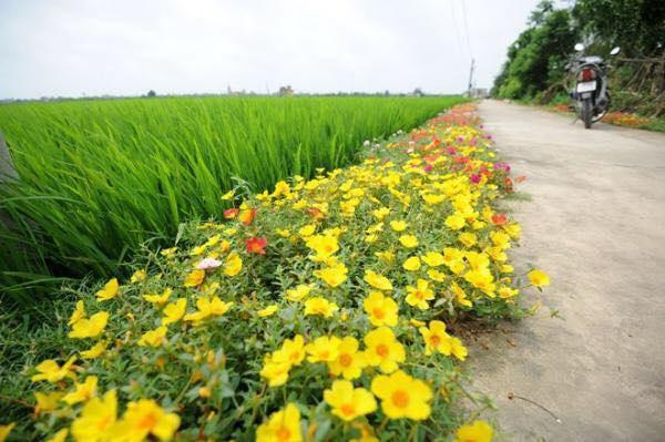 Con đường hoa khoe sắc rực rỡ ở làng quê Nam Định12