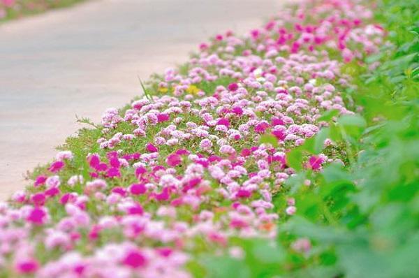 Con đường hoa khoe sắc rực rỡ ở làng quê Nam Định9
