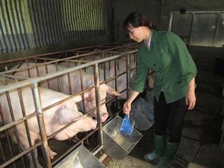 Công ty FDI can thiệp giá lợn nhằm triệt hạ các hộ chăn nuôi nhỏ?