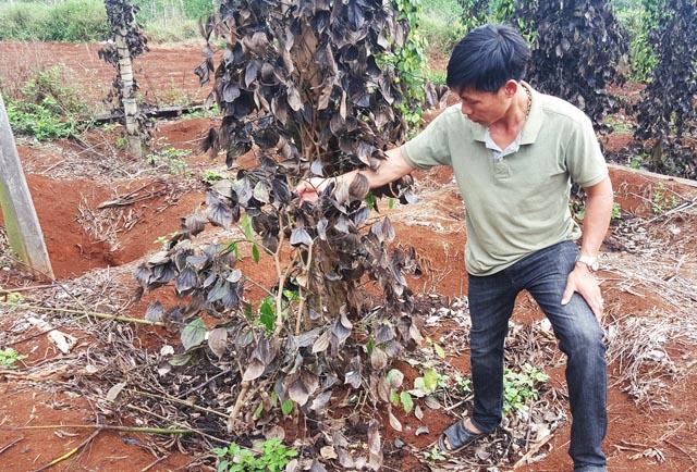 Giang hồ phá hoại vườn tiêu ở Đắk Nông, đòi 600 triệu để 'bảo kê'