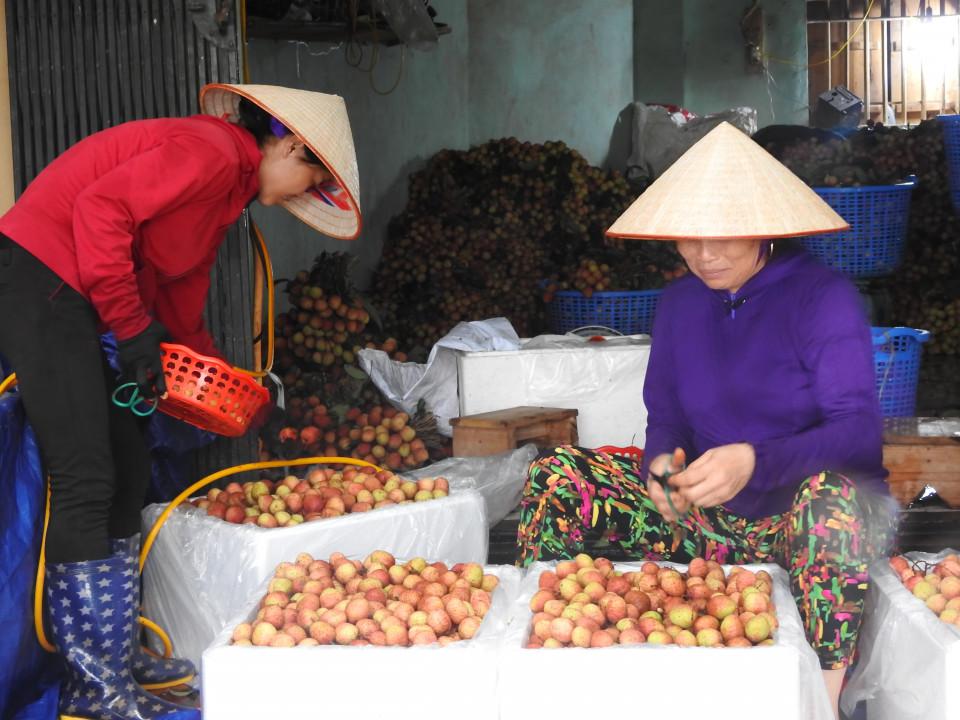 Không có chuyện vải thiều mất giá tại Bắc Giang và Hải Dương 3