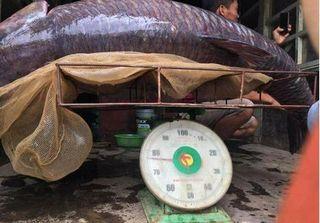 Ngư dân bắt được cá trắm đen 'khủng' nặng 71 kg ở hồ Thác Bà