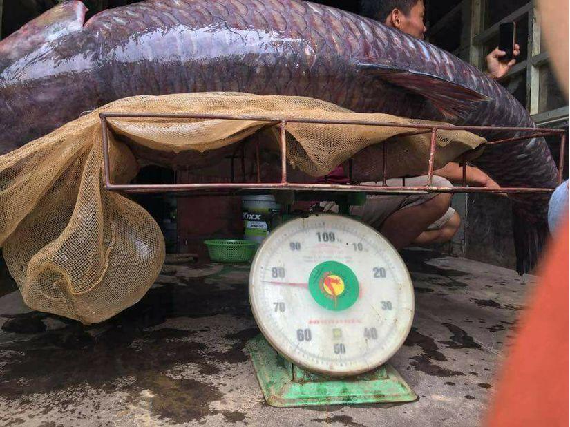 Ngư dân bắt được cá trắm đen khủng, nặng 71kg ở hồ Thác Bà