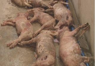 Hà Tĩnh: Tá hóa phát hiện 12 con lợn bị kẻ xấu đâm chết trong đêm
