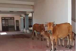 Hà Tĩnh: Xây trụ sở tốn 33 tỷ bỏ hoang, để... trâu bò tránh nắng