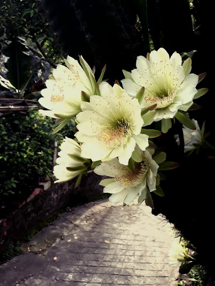 cây xương rồng gần 30 năm nở hoa trắng muốt