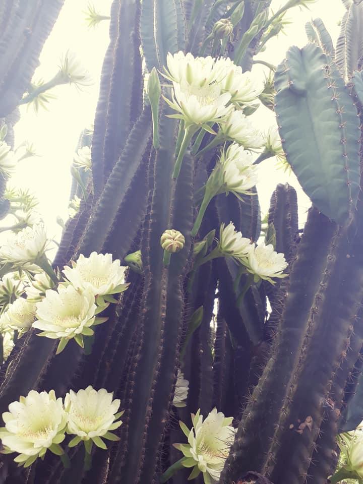 cây xương rồng gần 30 năm nở hoa trắng muốt 3