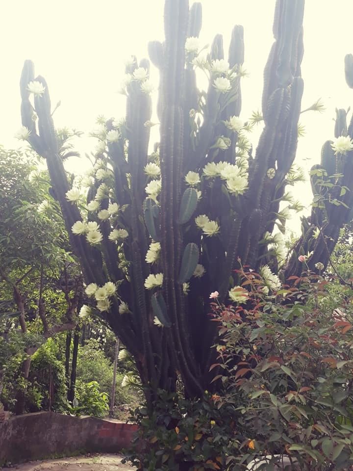 cây xương rồng gần 30 năm nở hoa trắng muốt 2