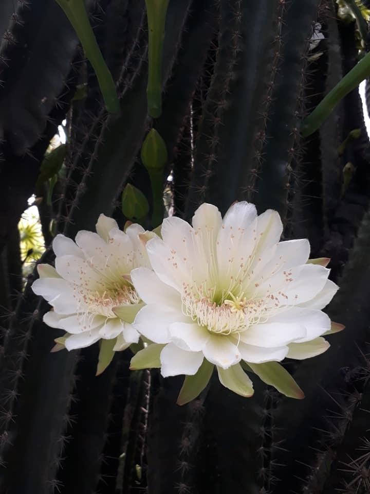cây xương rồng gần 30 năm nở hoa trắng muốt 6