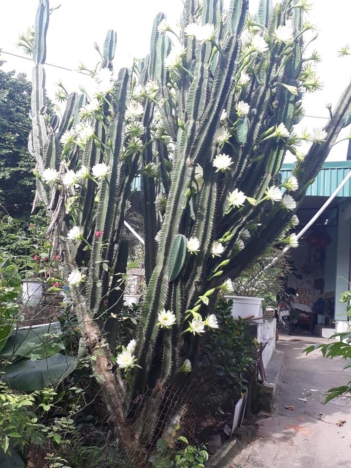 cây xương rồng gần 30 năm nở hoa trắng muốt 8