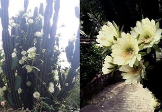 Dân mạng 'điên đảo' với cây xương rồng gần 30 năm nở hoa trắng muốt