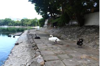Đàn thiên nga ở hồ Thiền Quang oằn mình dưới trời nắng khủng khiếp