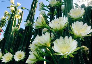 Ngỡ ngàng vẻ đẹp hiếm có của hàng rào hoa xương rồng ở Sóc Trăng