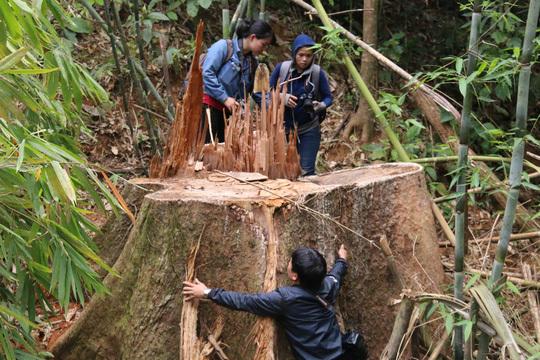 Truy nã 2 kẻ cầm đầu vụ phá rừng lim cổ thụ ở Quảng Nam