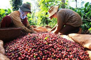 Thị trường nông sản hôm nay 18/7: Giá cà phê bất ngờ giảm mạnh