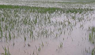 Bão số 3 đổ bộ Nam Định, hàng nghìn ha lúa nguy cơ bị ngập úng