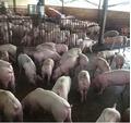Giá heo hơi hôm nay 19/7: Giá lợn cao nhất 55.000 đồng/kg