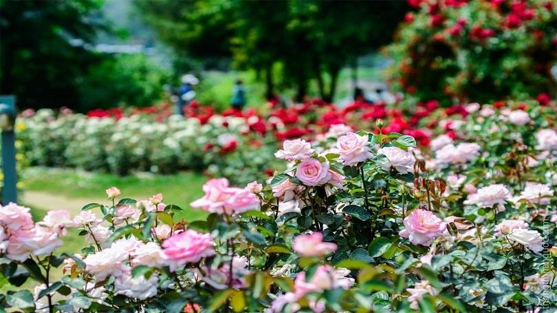 Ngất ngây với vẻ đẹp tại công viên hoa hồng độc đáo nhất Việt Nam
